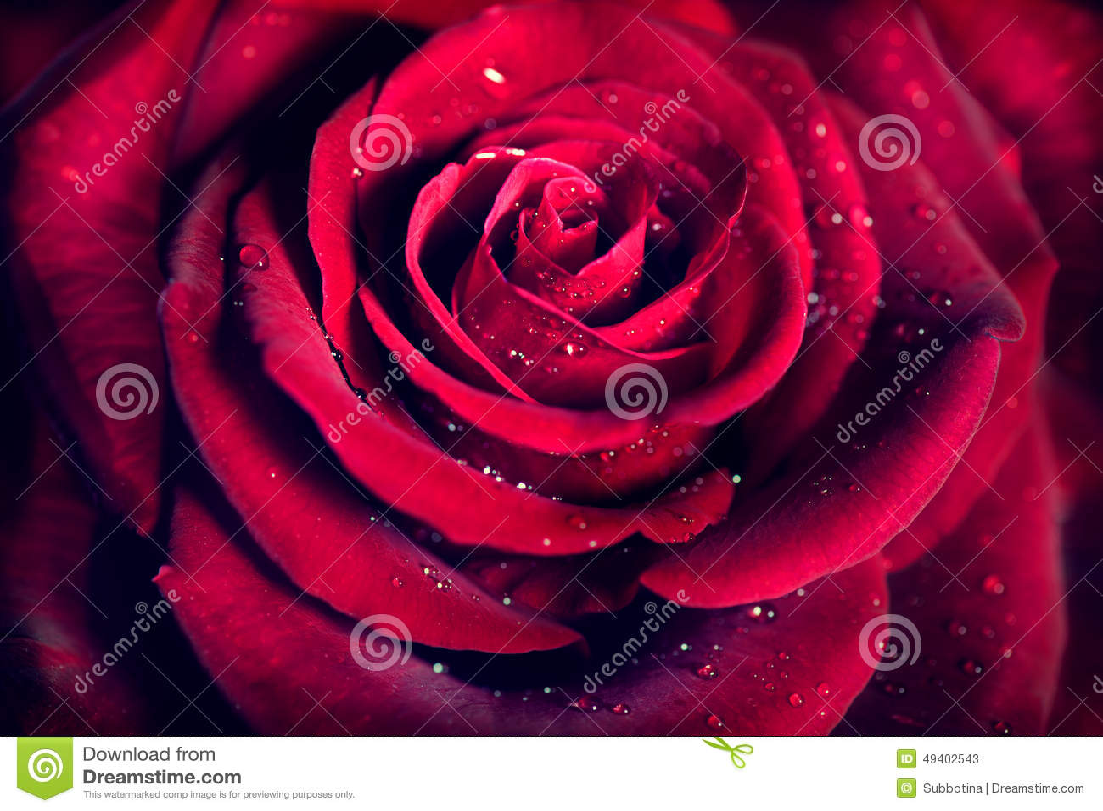 Röd rosblommabakgrund
