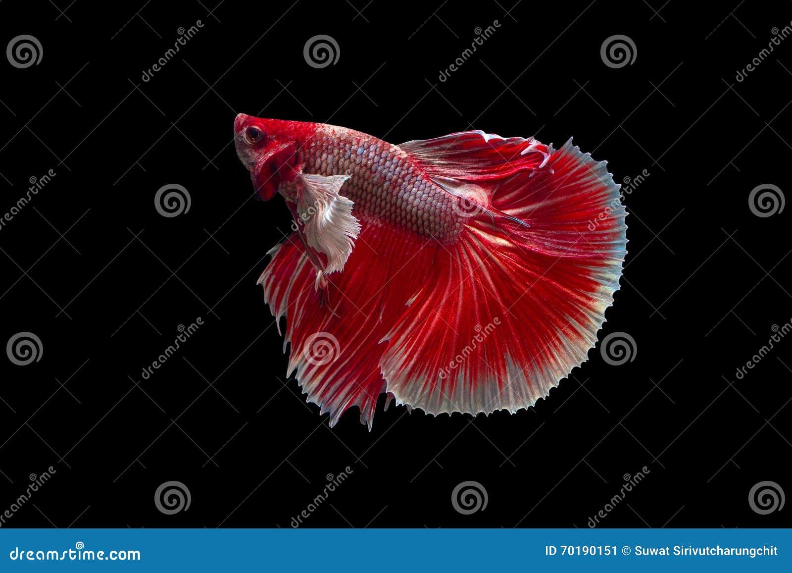 Röd Siamese stridighetfisk Betta Fish