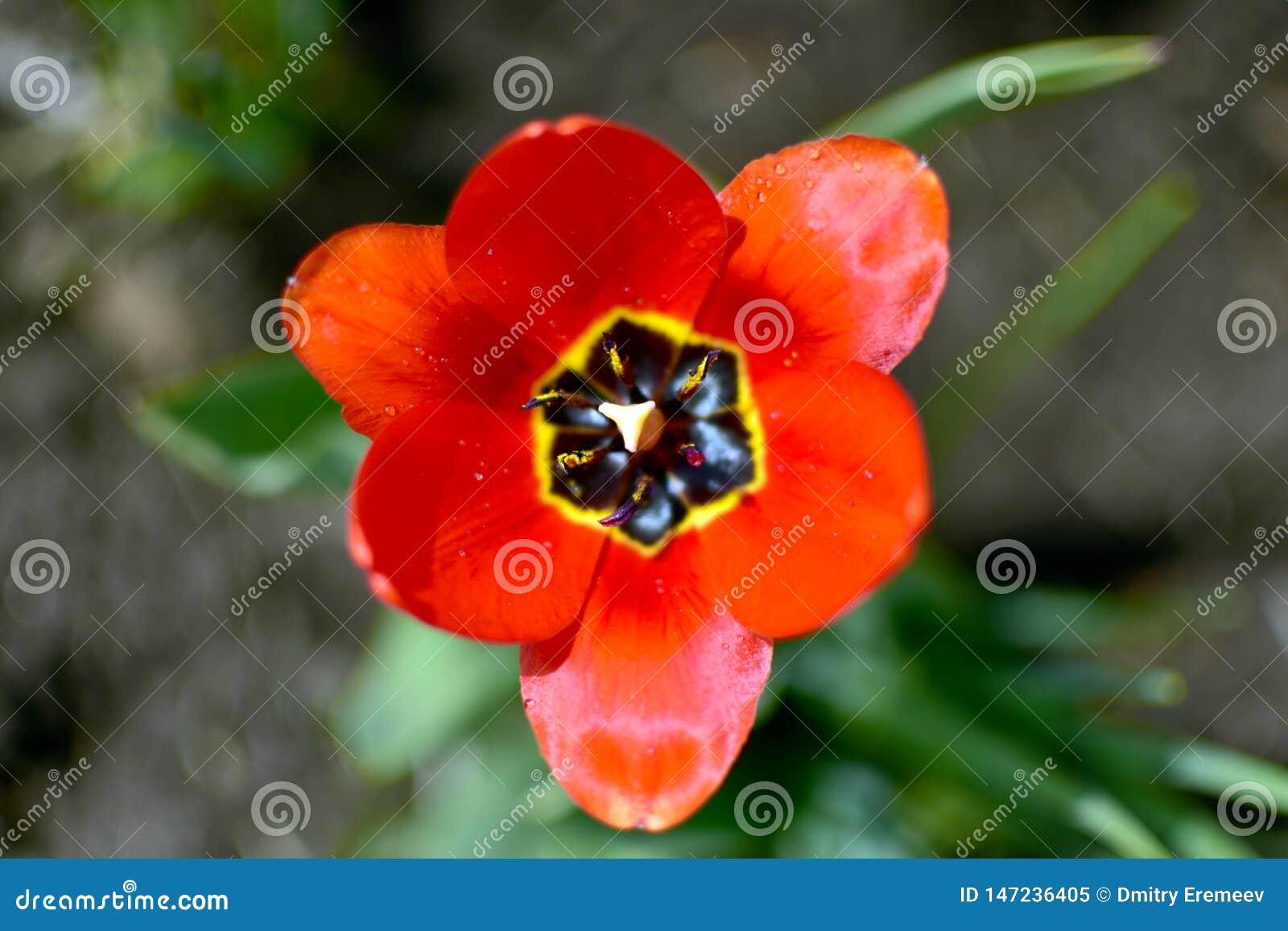 Röd trädgårdblomma med den stora härliga röda kronbladcloseupen