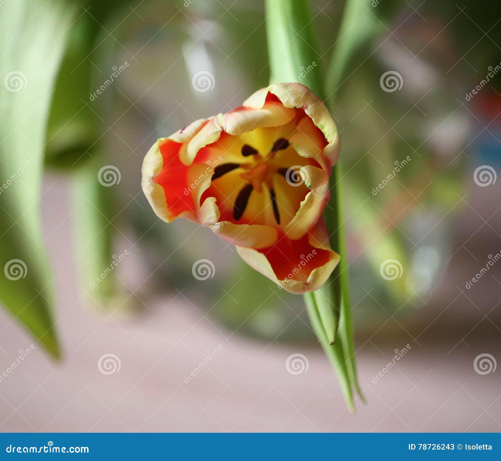 Röd tulpan för tät blomma upp