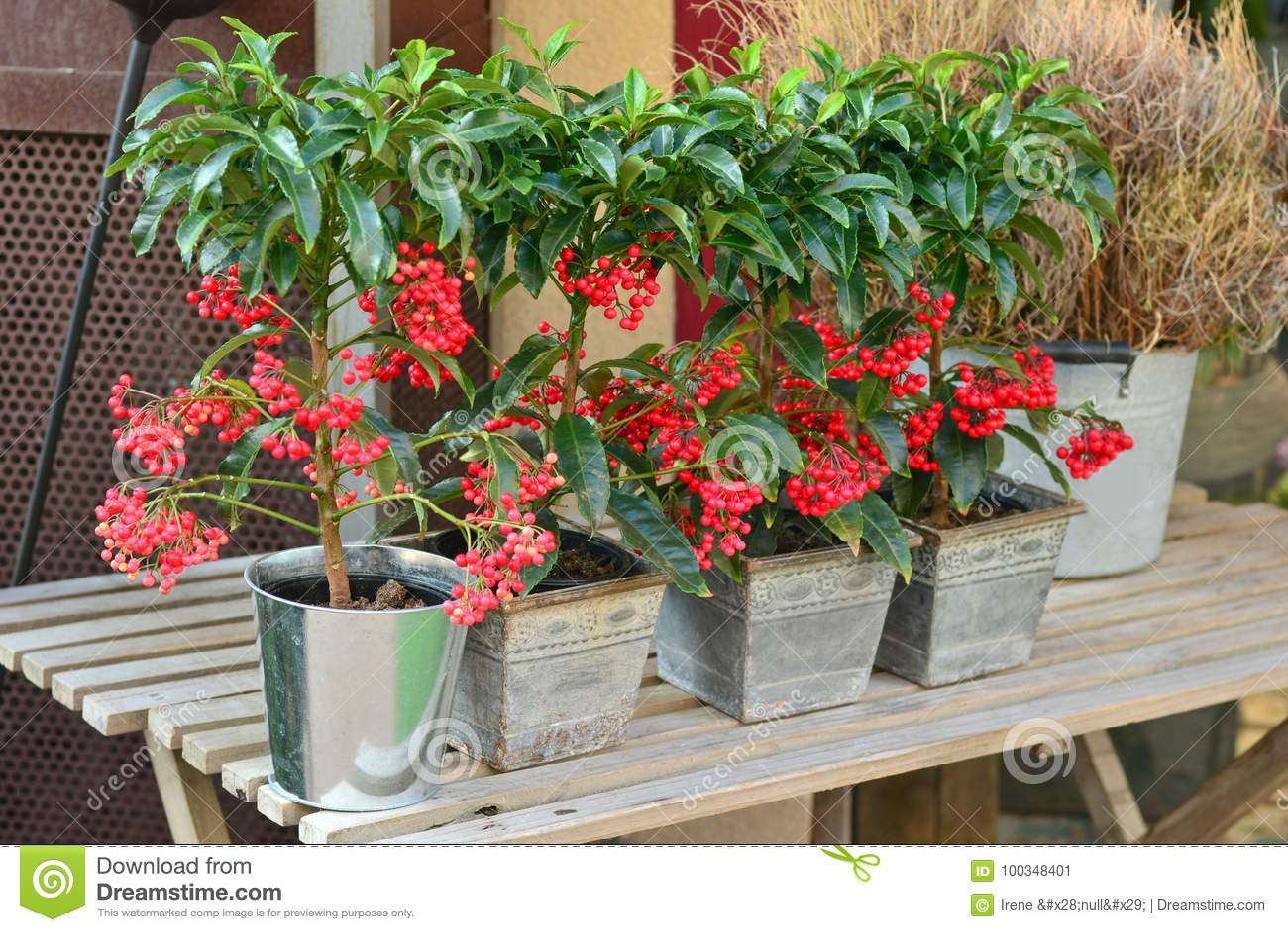 Röd VÄXT för bärträd PYARACANTHA