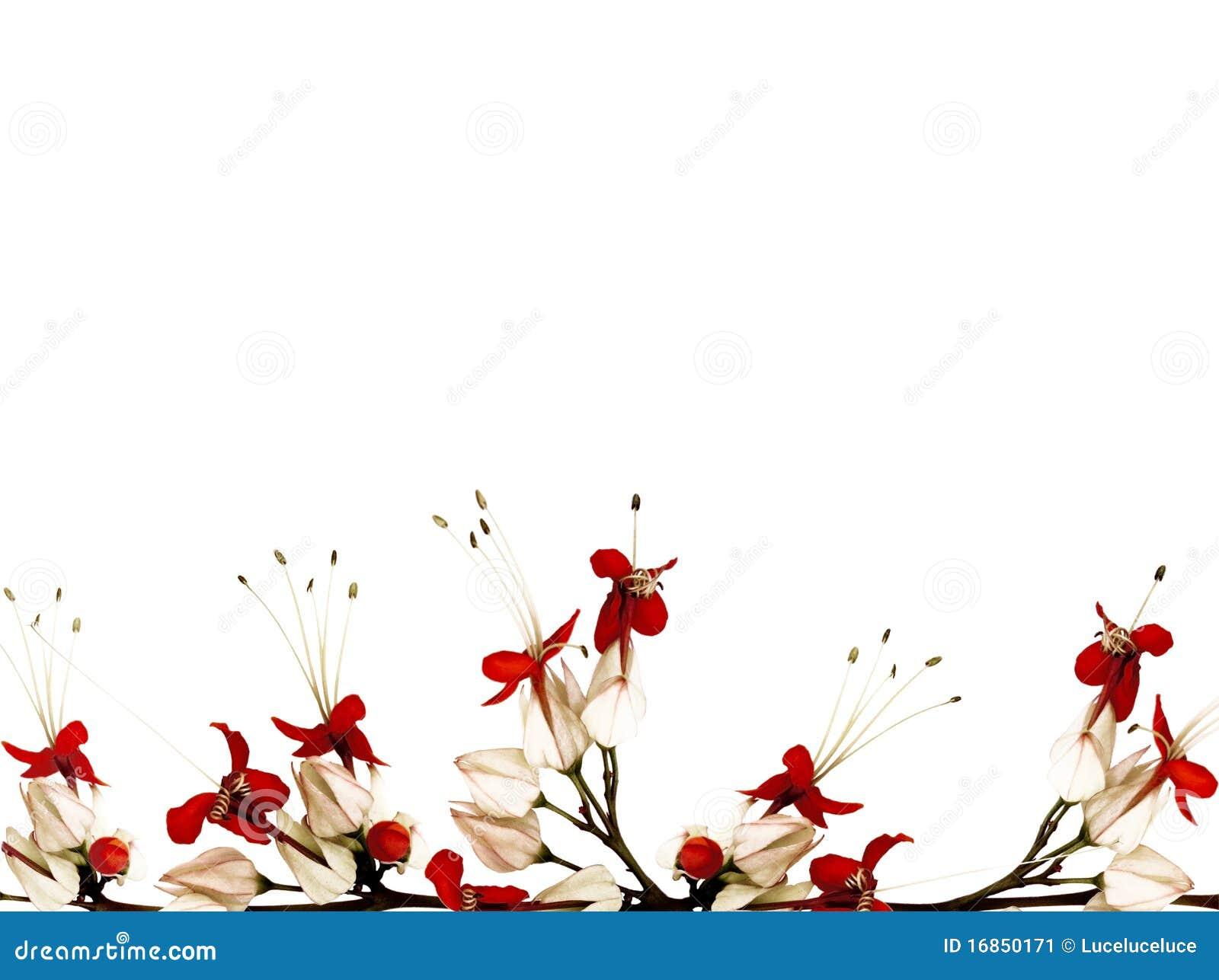 Röd white för svart fjärilsblomma