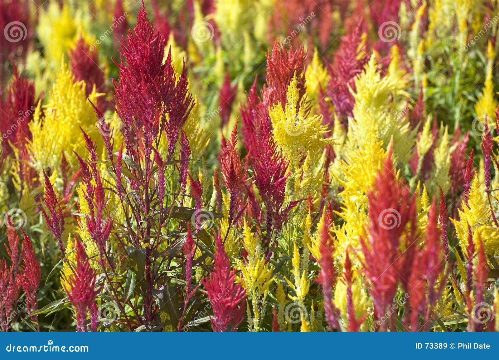 Röd yellow för gräs