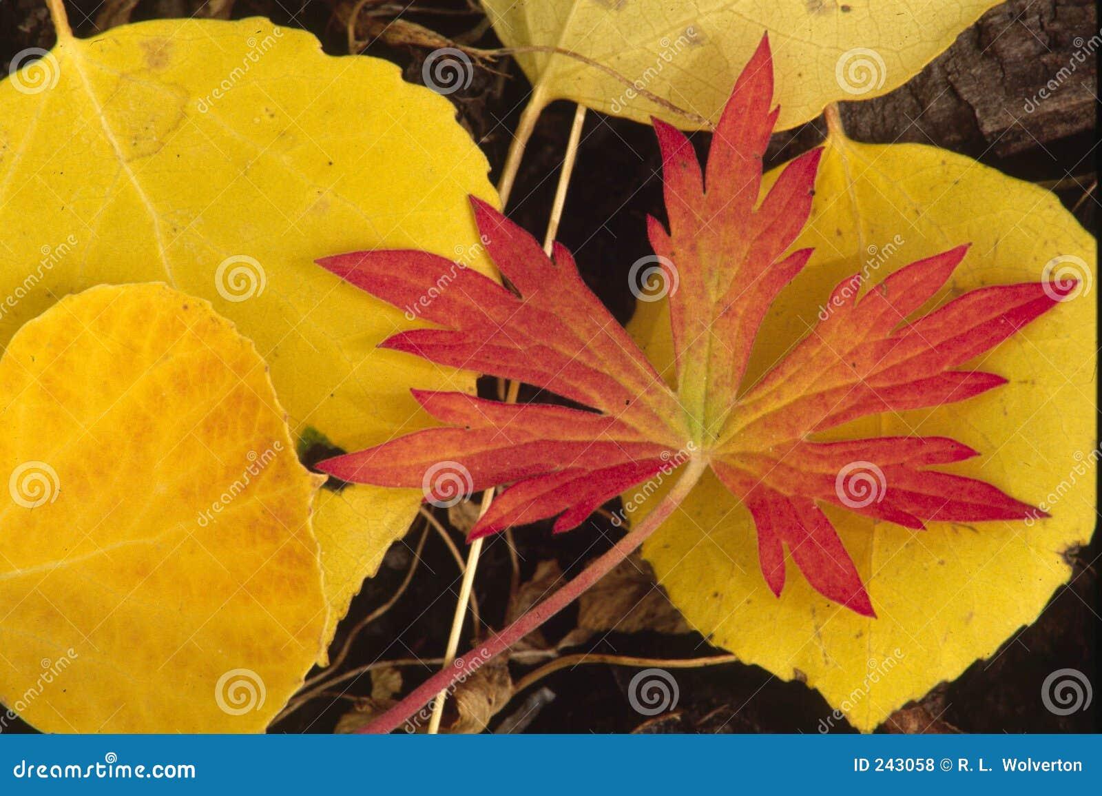 Röd yellow för höst