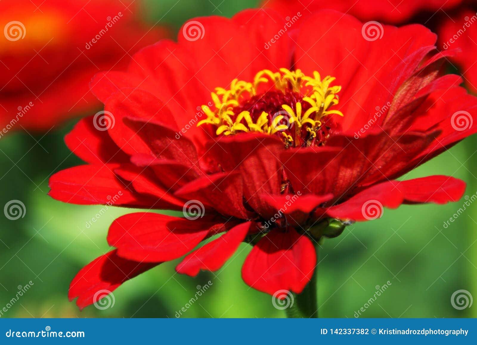 Röd zinniablomma i en frodig trädgård