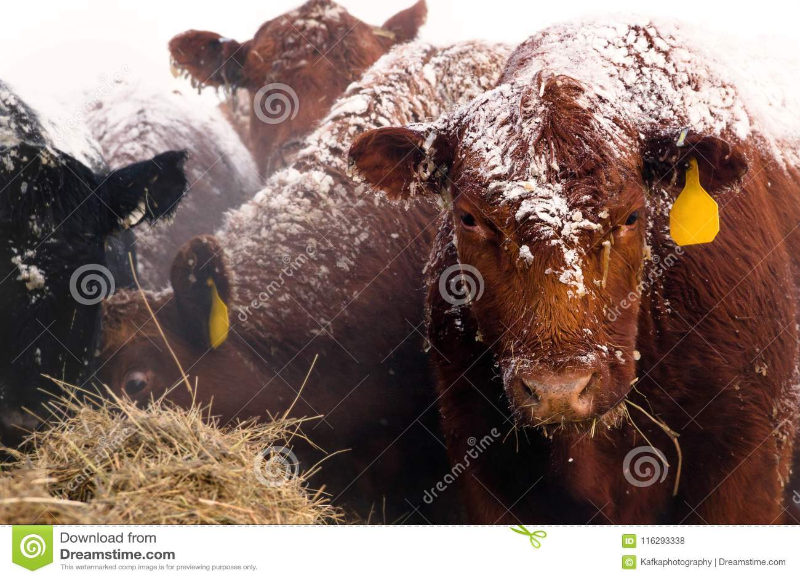 Röda Angus Cow på en snöig dag