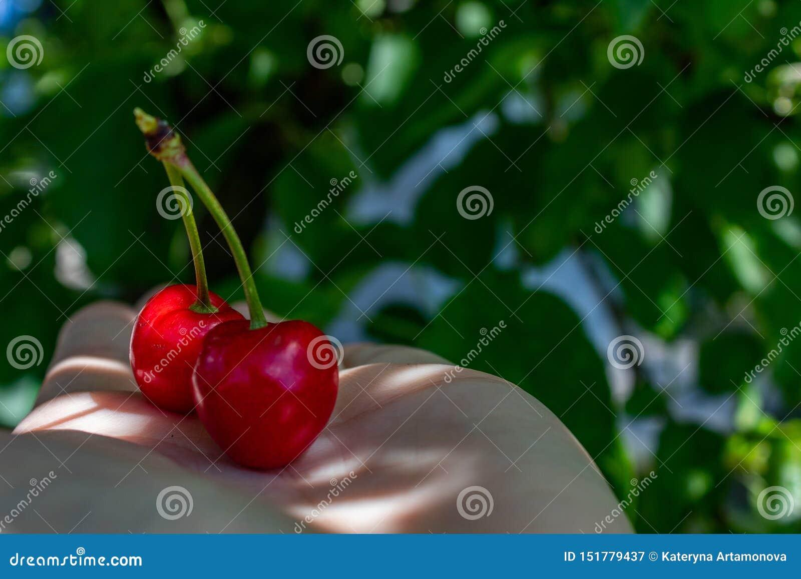 2 röda bär av den söta körsbäret, lögn på en kvinnlig hand