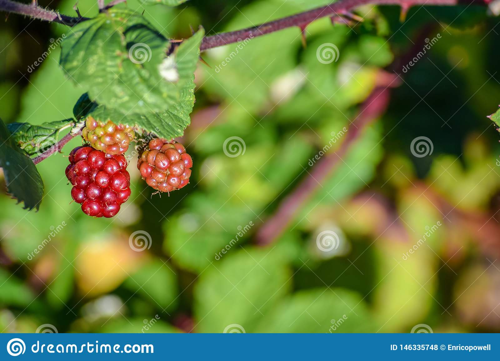 Röda bär som växer löst hänga från ett träd