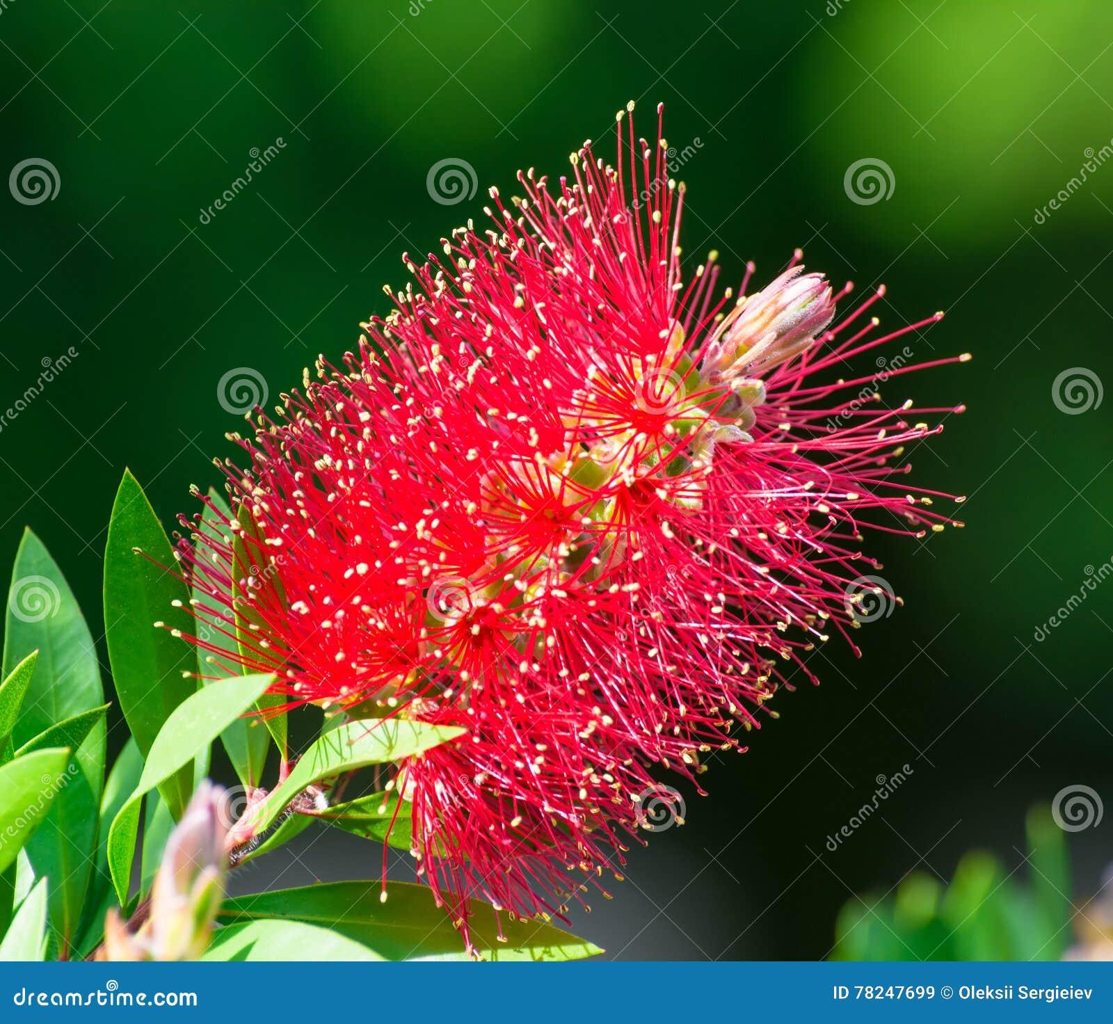 Röda blommor för flaskborste & x28; CALLISTEMON-VÄXT & x29;