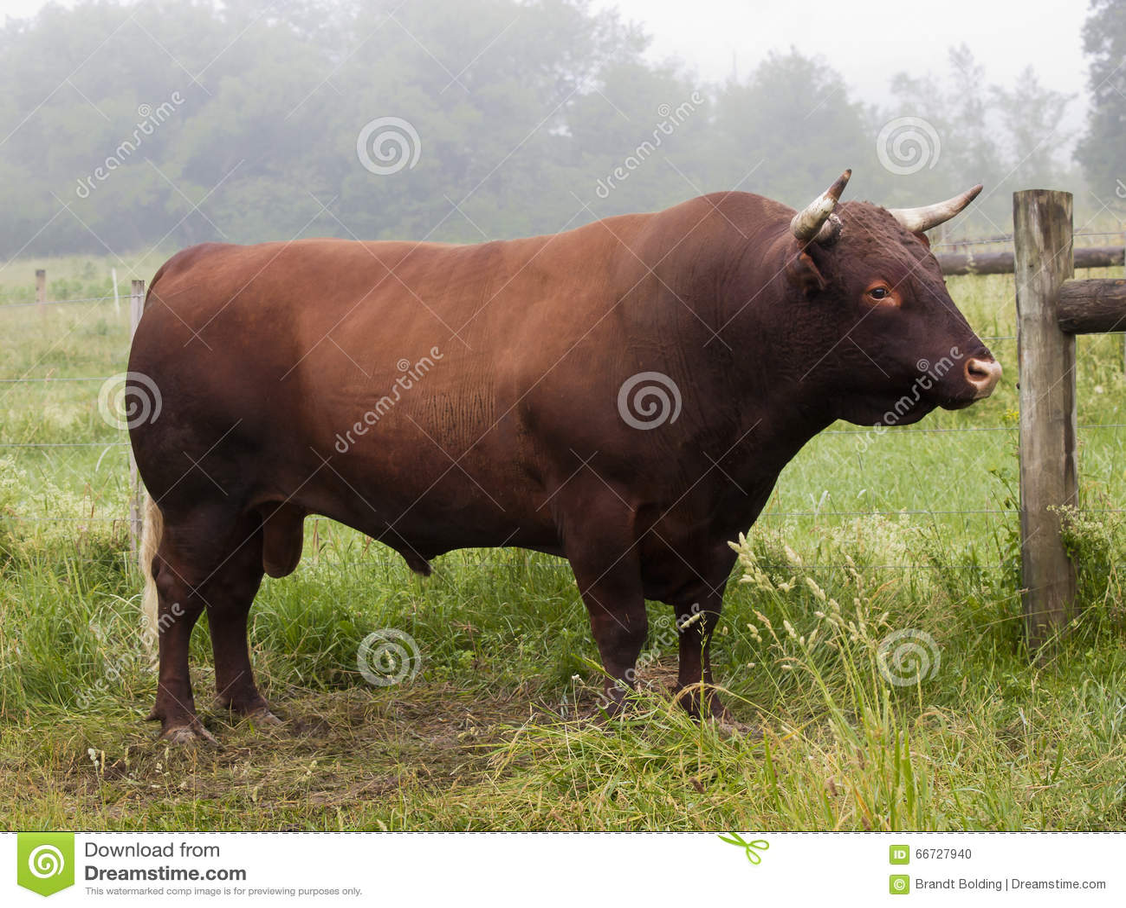 Röda Devon Bull