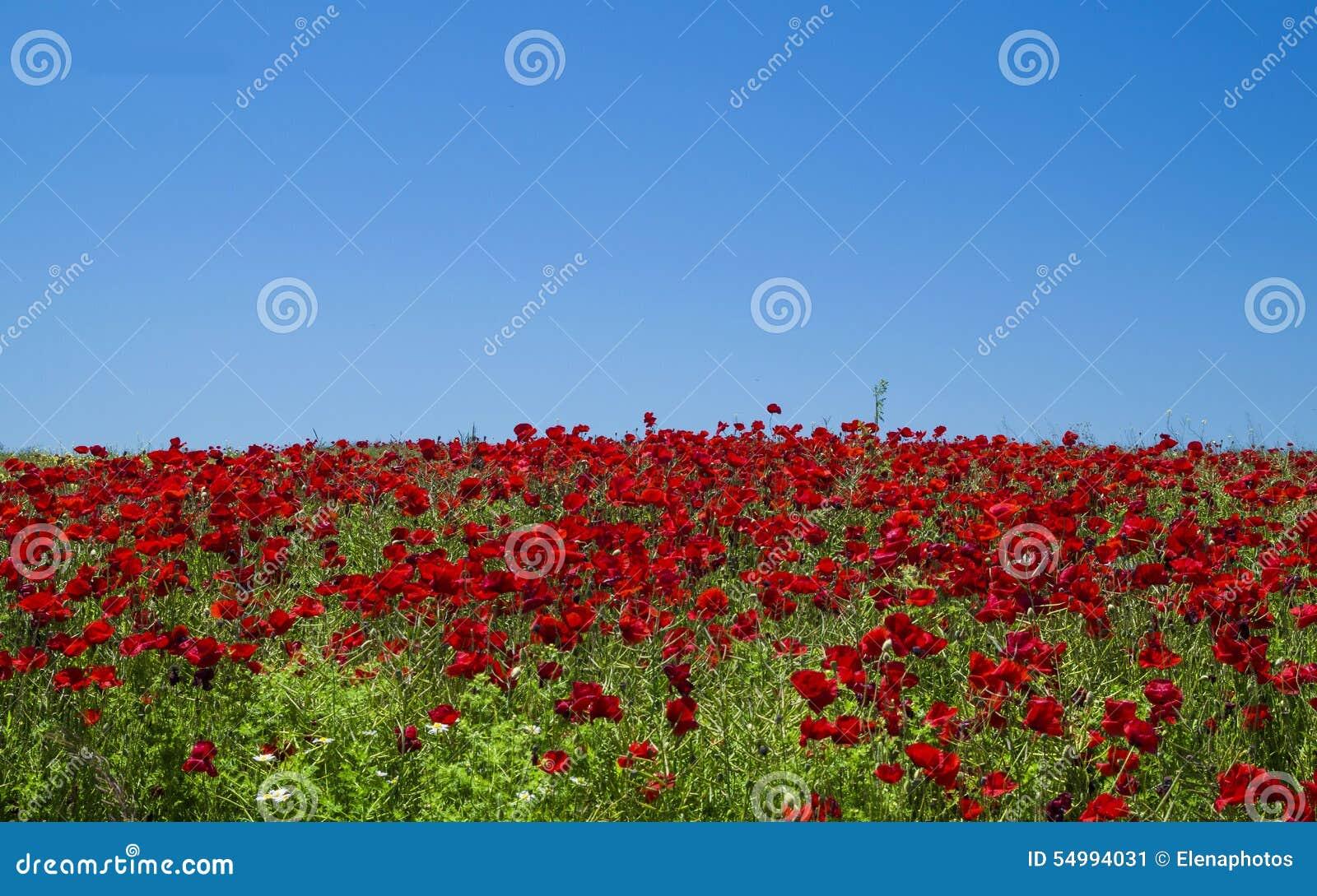 Röda fältvallmor