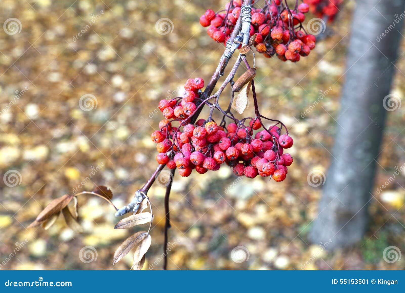 Röda grupper av rönnbär i höst