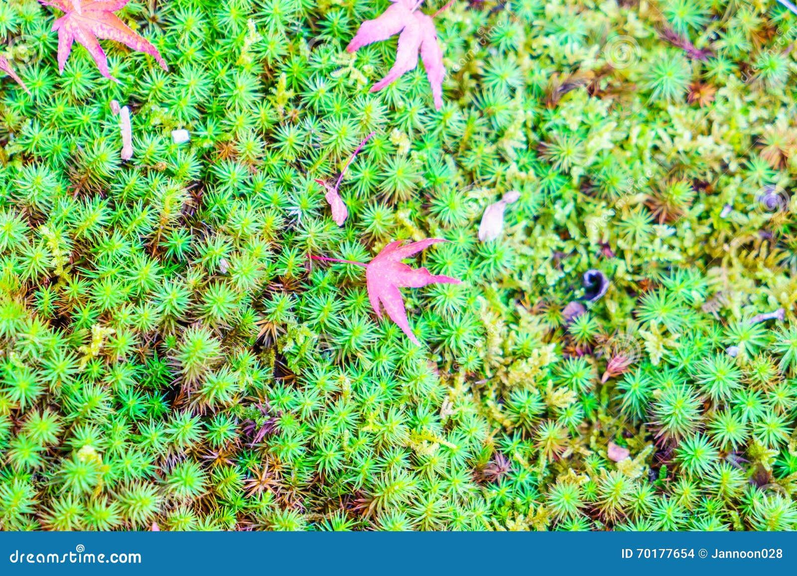 Röda gula höstlönnlöv på grönt gräs för ny vår