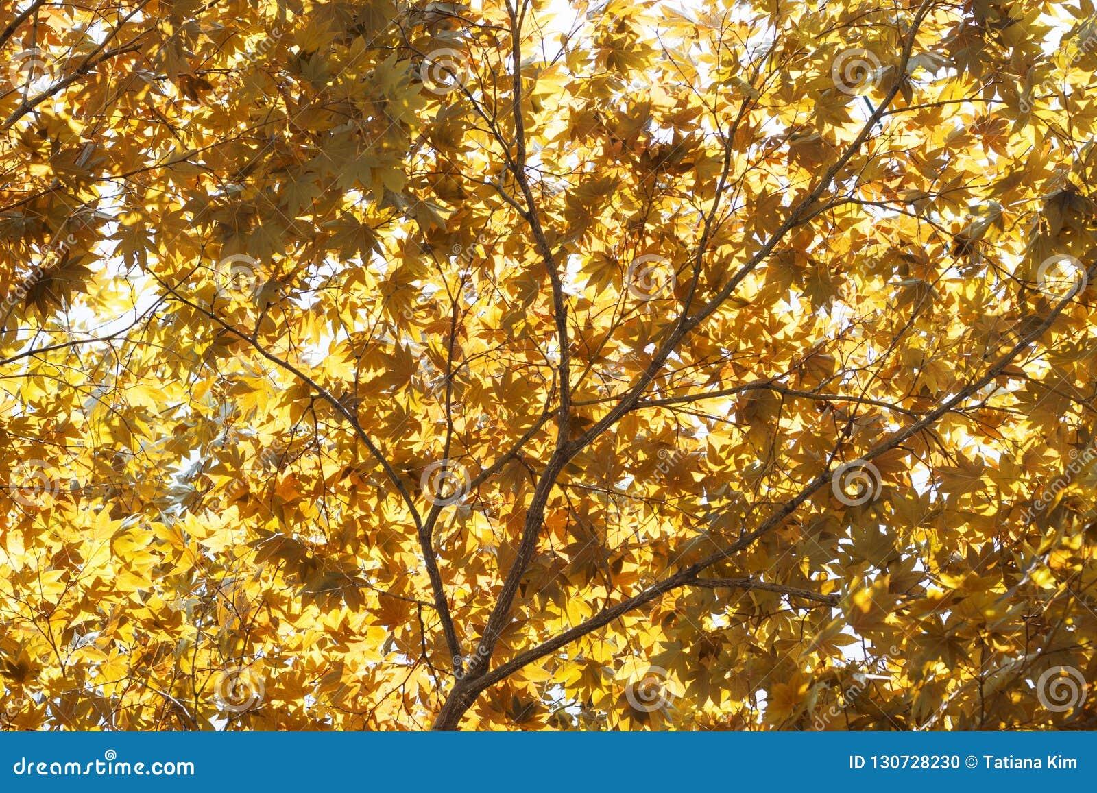 Röda gula nedgånglönnblad som är upplysta vid naturlig bakgrund för sol