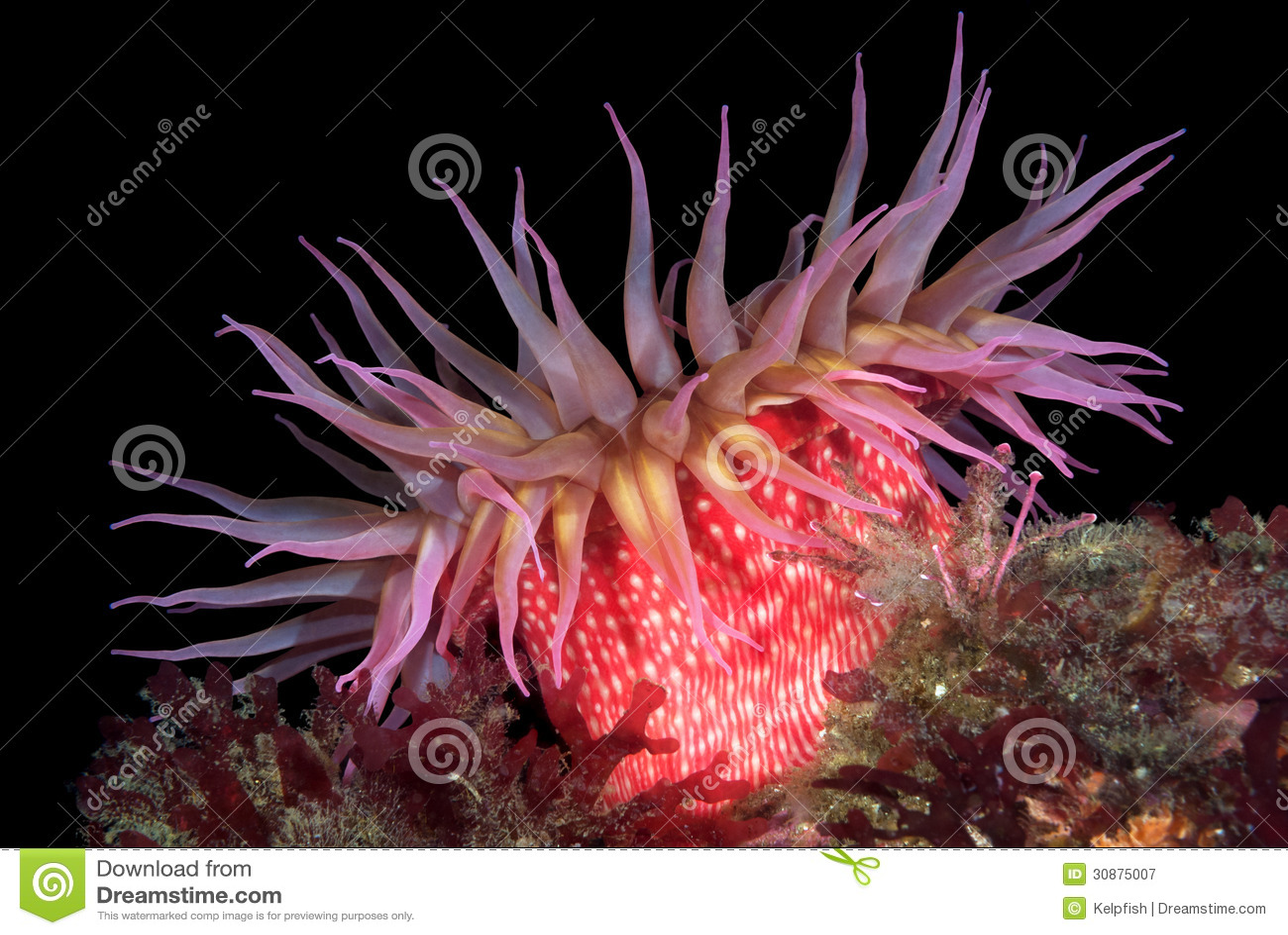 Röda havetanemon