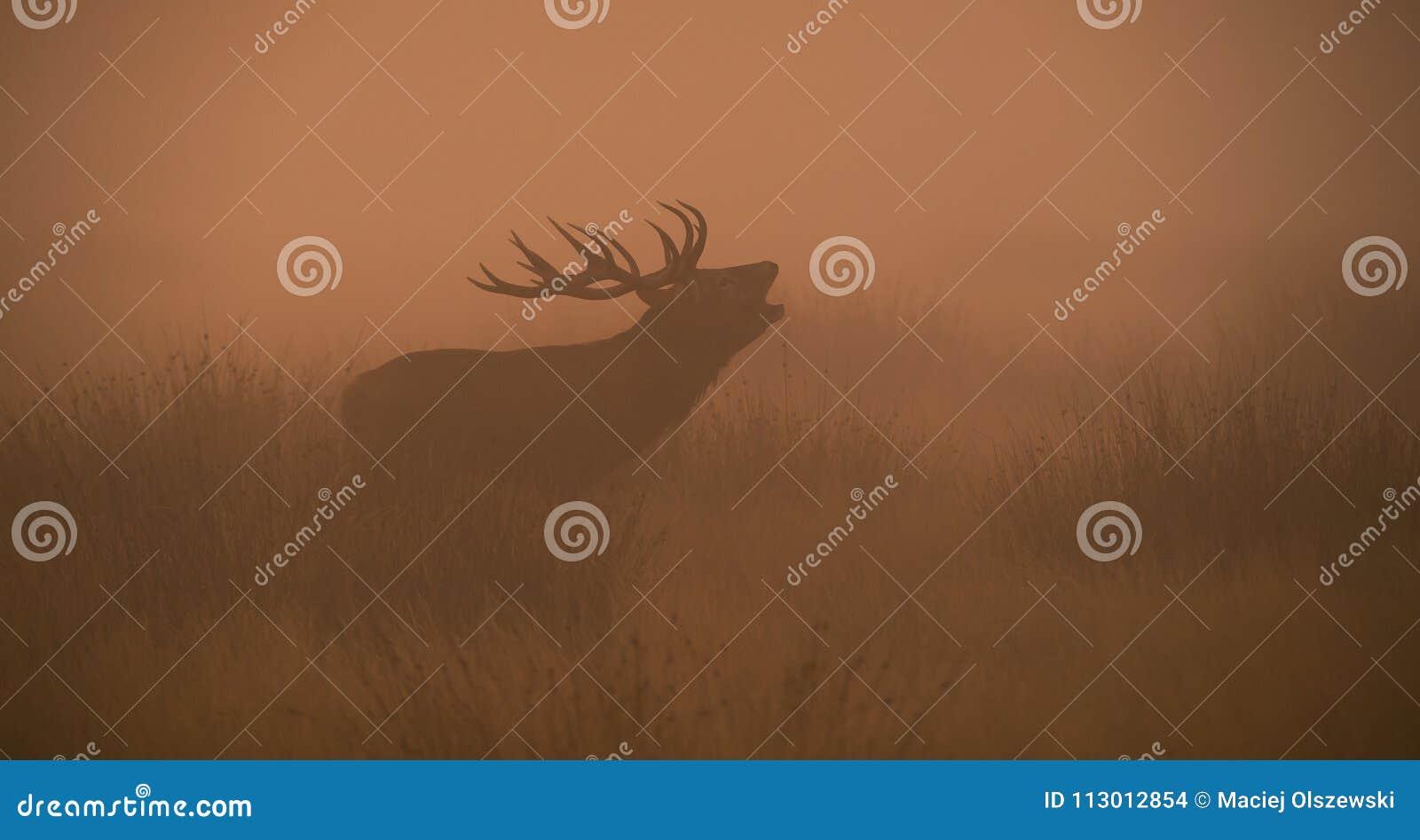 Röda hjortar, hjortar, Cervuselaphus