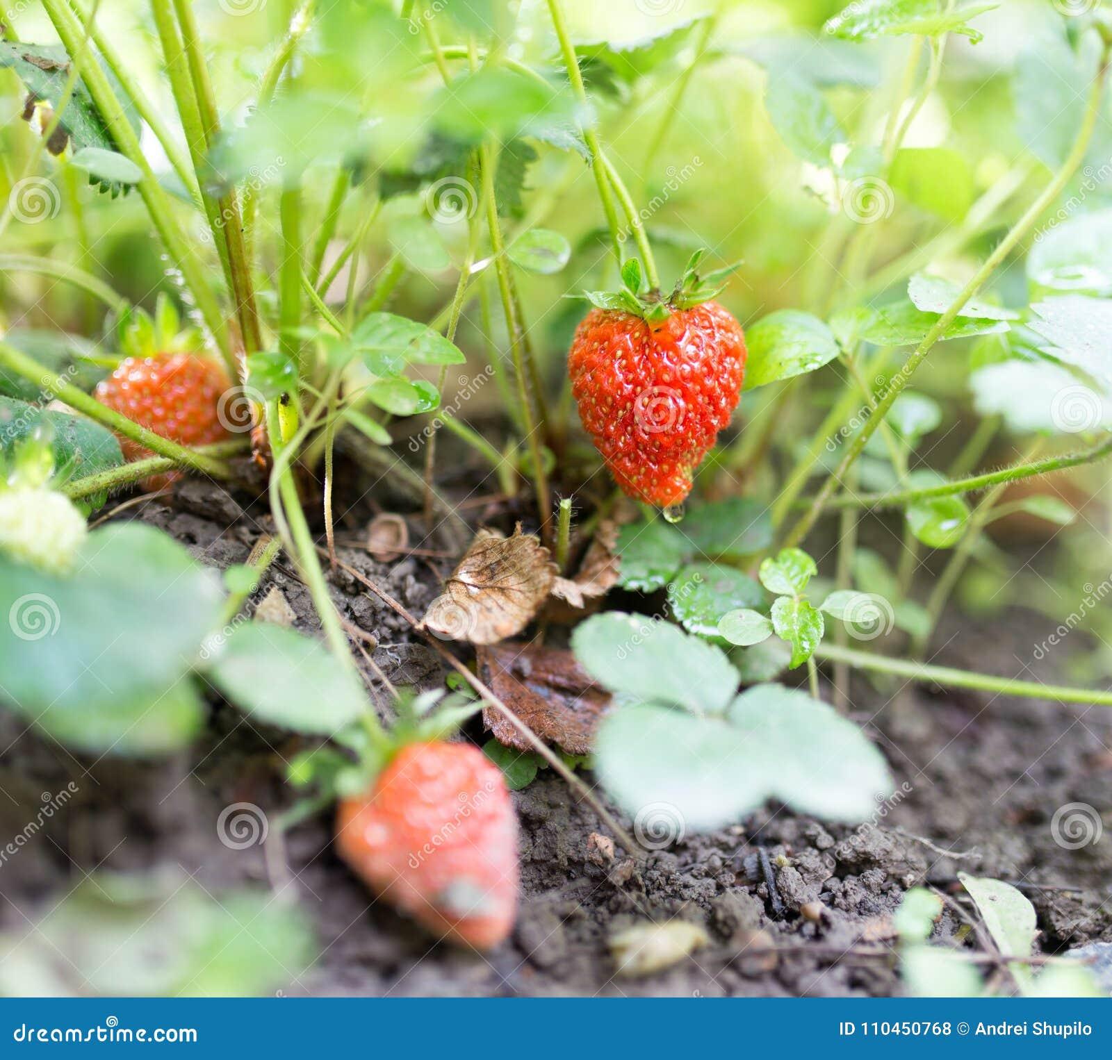 Röda jordgubbar i trädgården