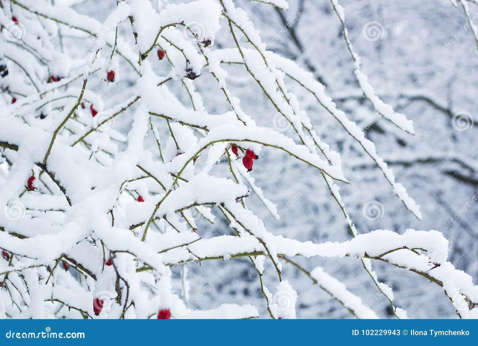 Röda nyponbär på busken i snö Rosa caninaväxt