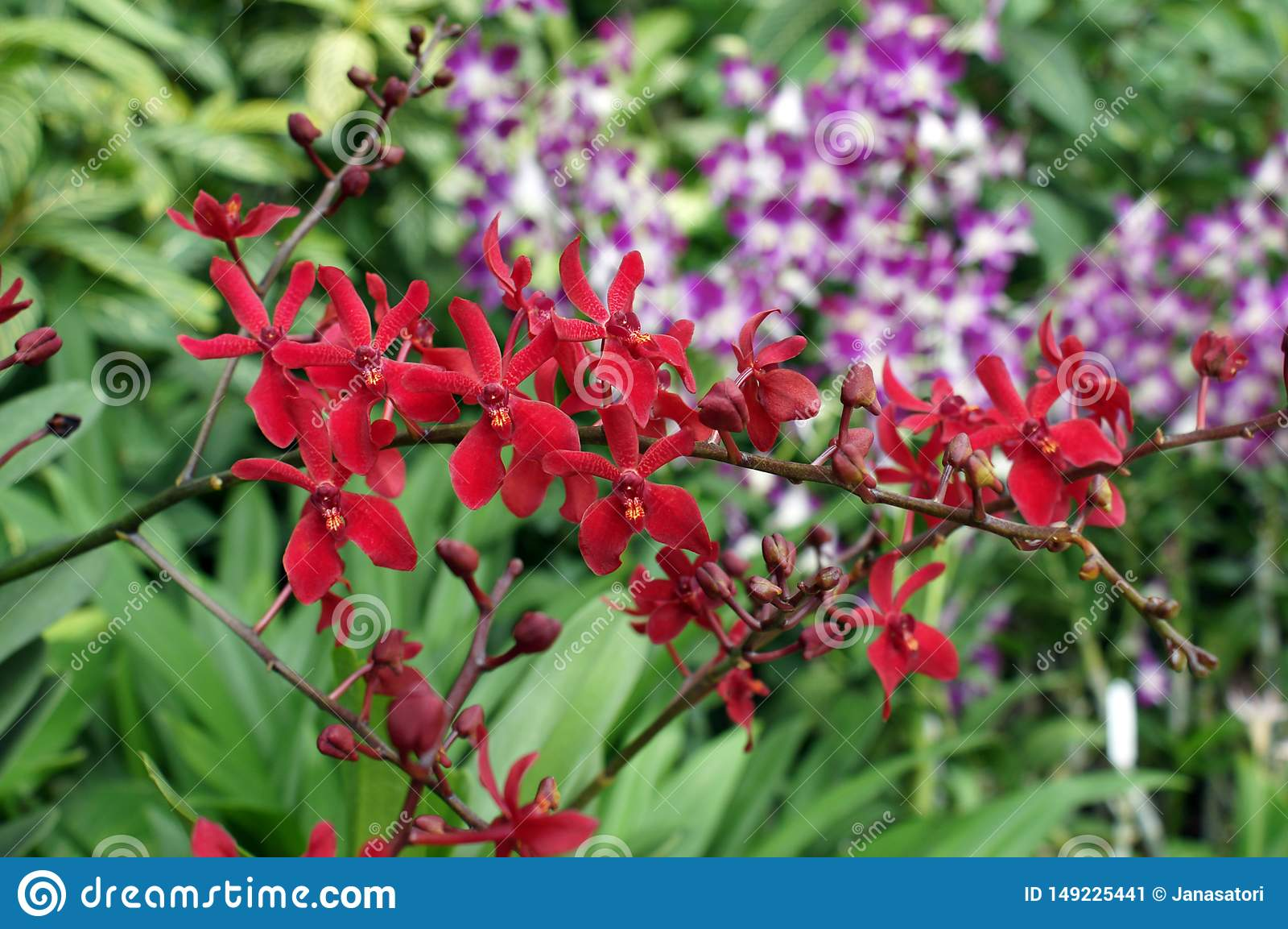 R?da orkid?r i den Singapore tr?dg?rden