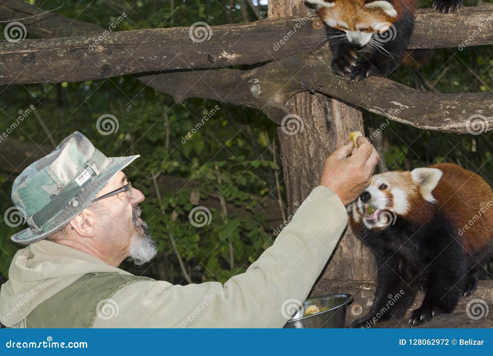 Röda Panda Feeding