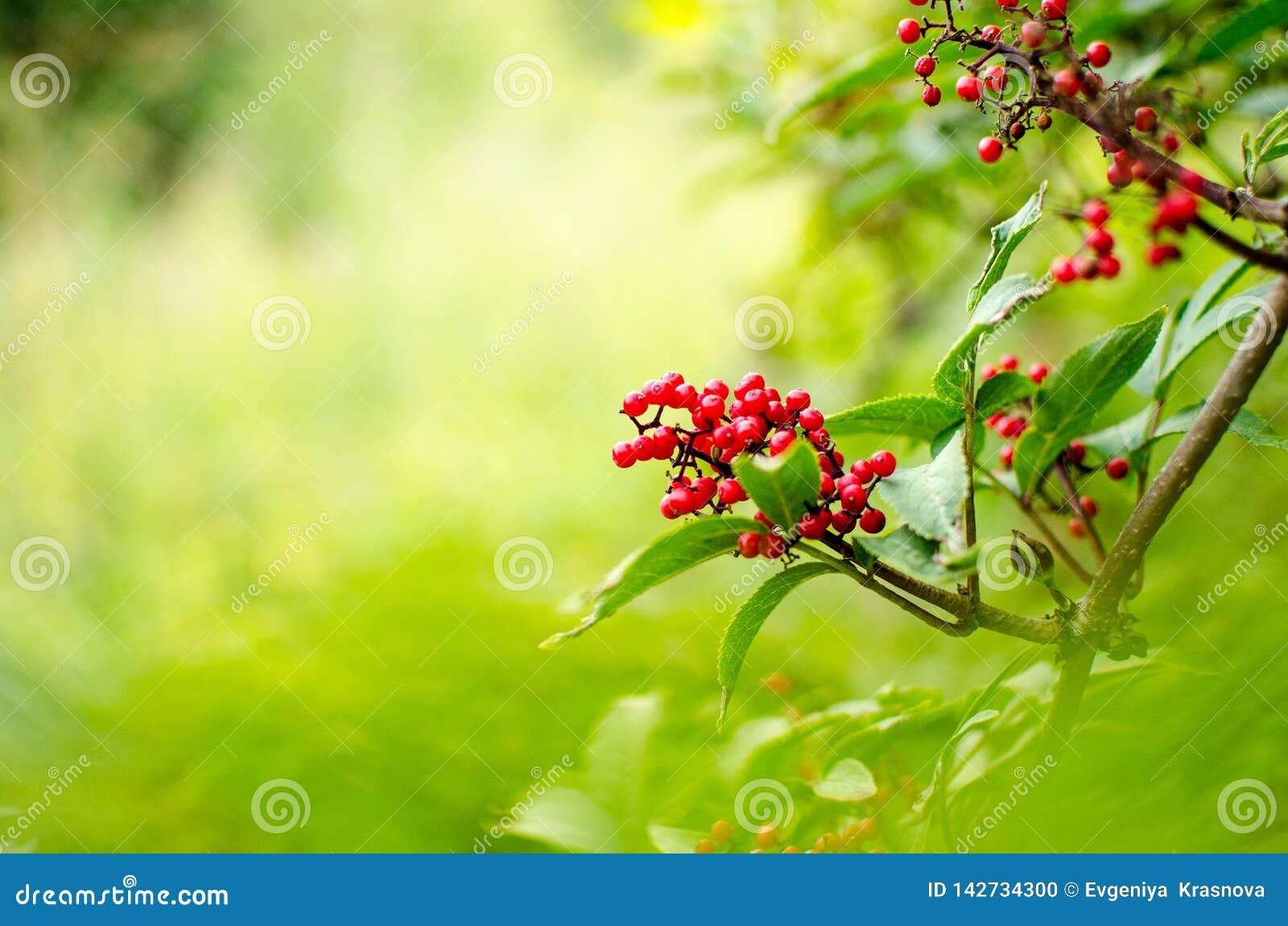 Röda rönnbär på en filial i sommar