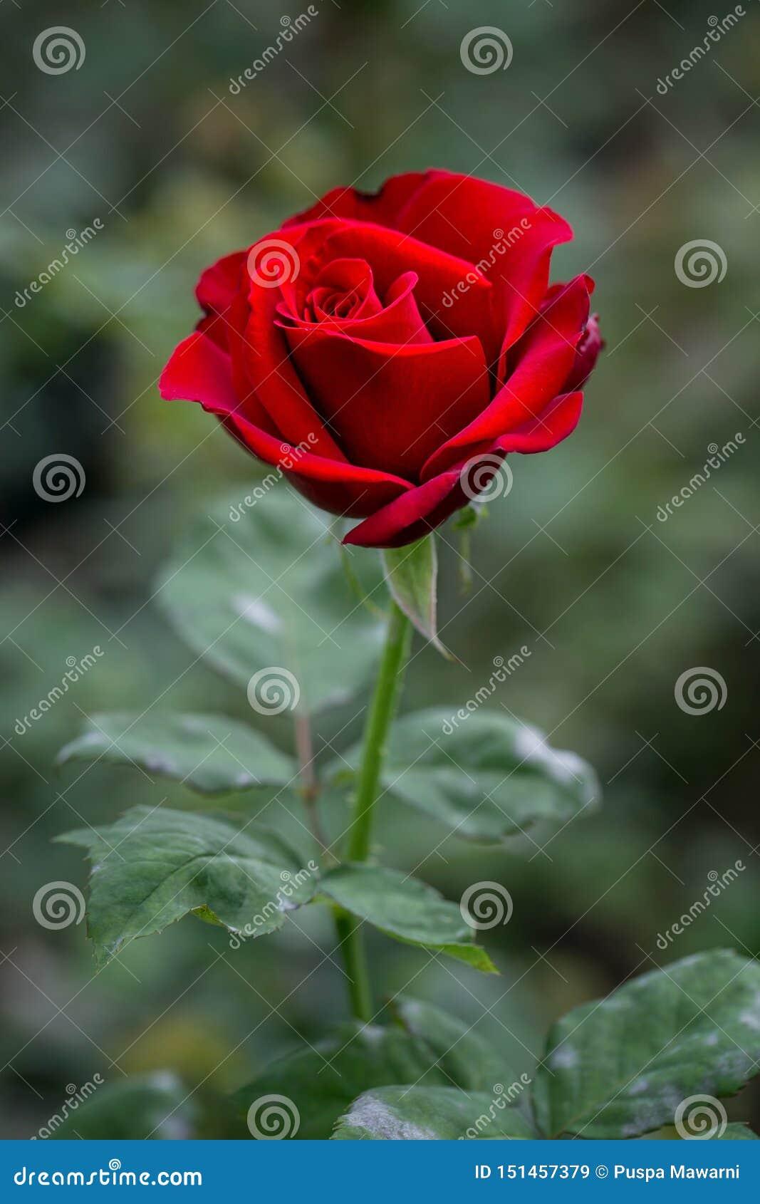 Röda rosor med grön oskarp bakgrund Säg precis med blomman och ljust din dag