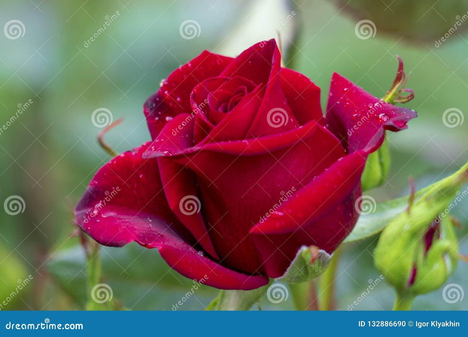 Röda rosor på en buske i en trädgård Ryssland