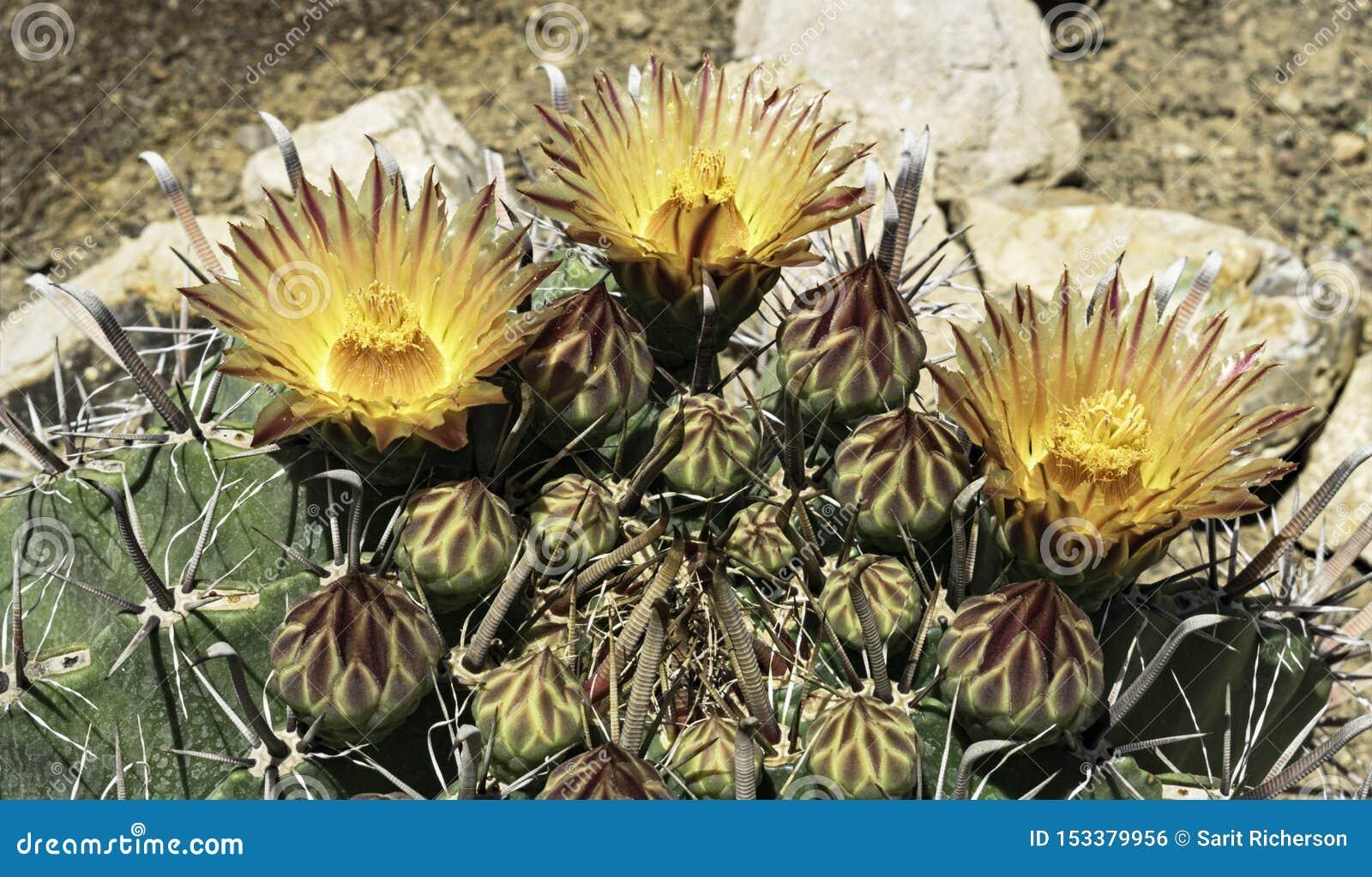 Röda tre och gula randiga blommor på en kaktus för Arizona metkroktrumma