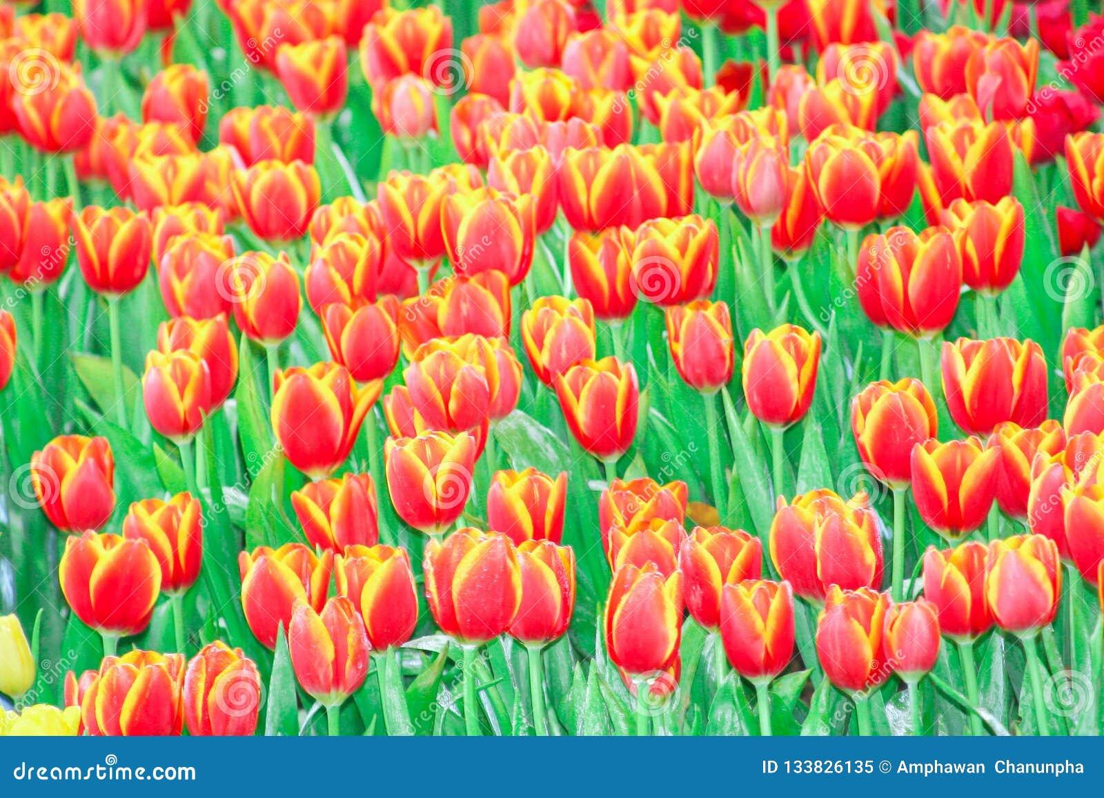 Röda tulpan blommar gruppen som blommar med vattendroppar i trädgård