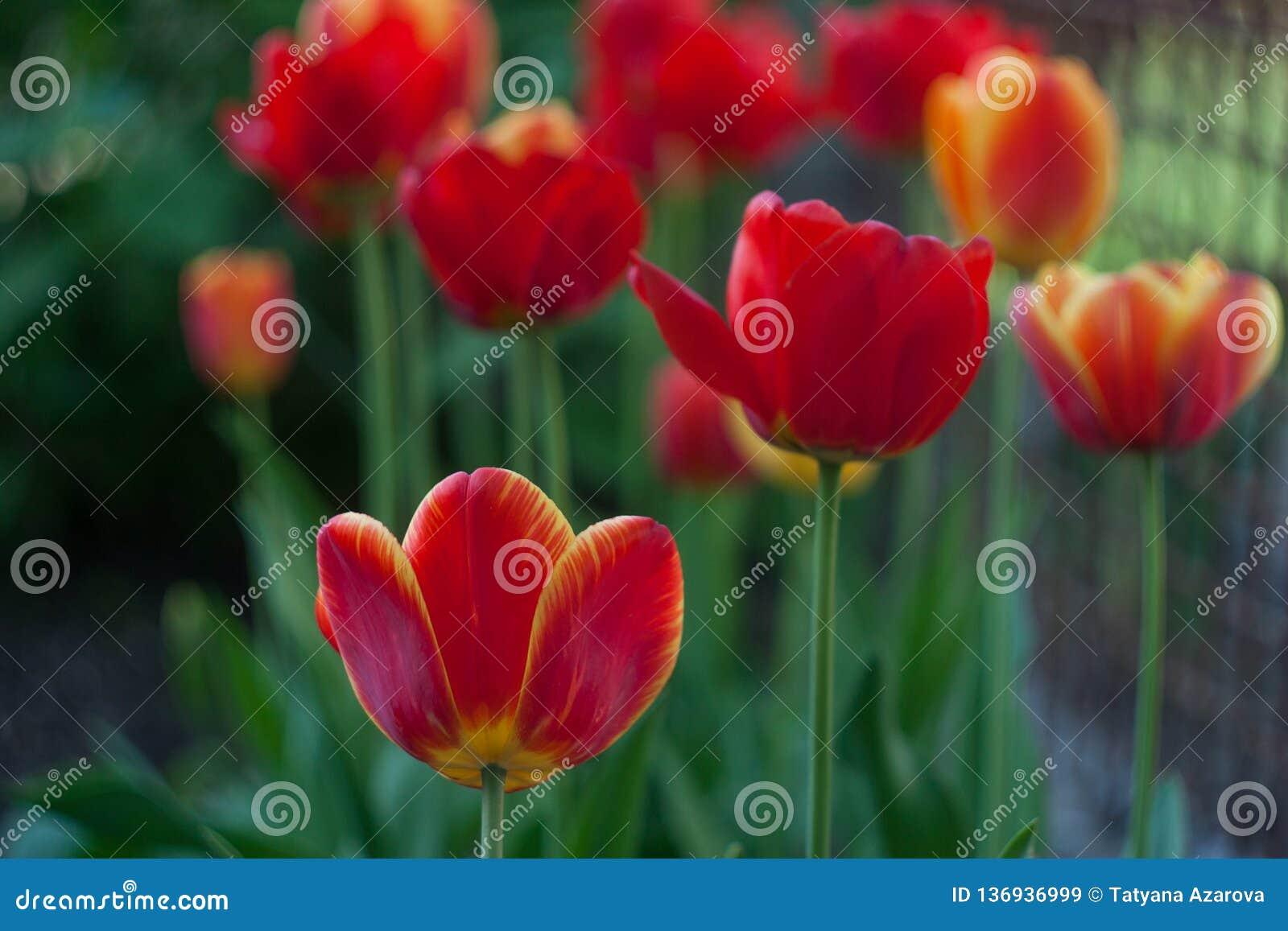 Röda tulpan i den gröna trädgården på våren
