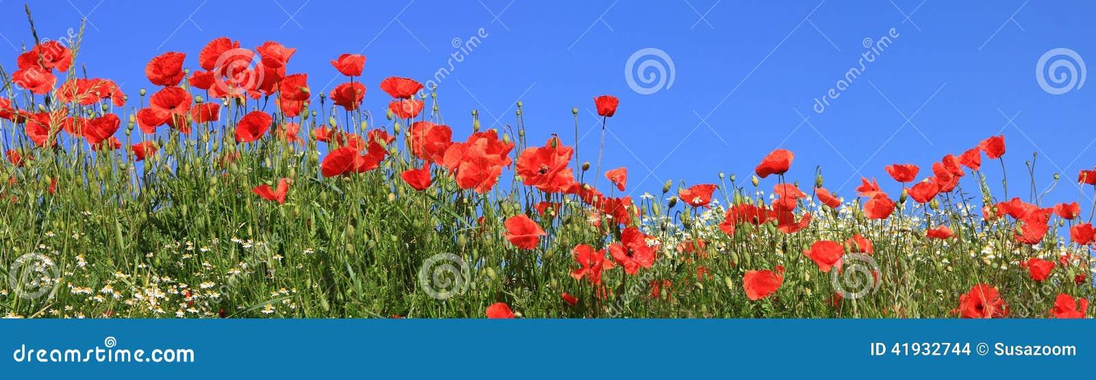 Röda vallmo och full blom för prästkragar, panorama- format