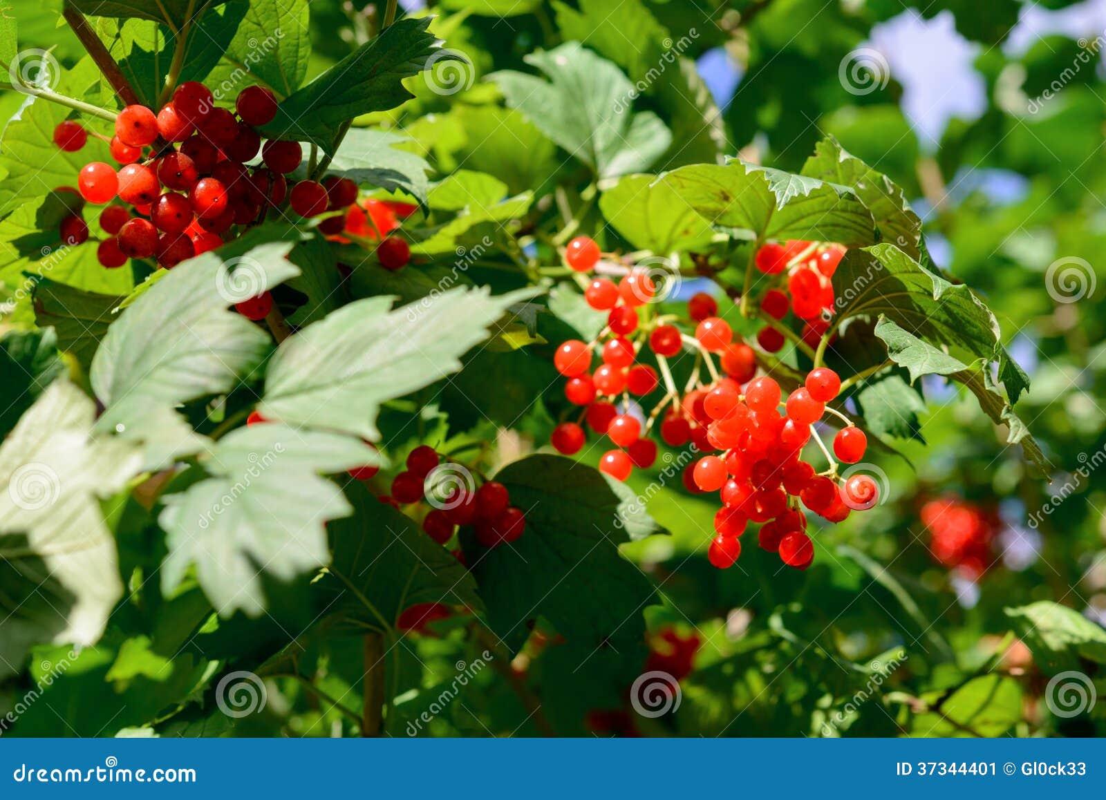 Röda Viburnumbär
