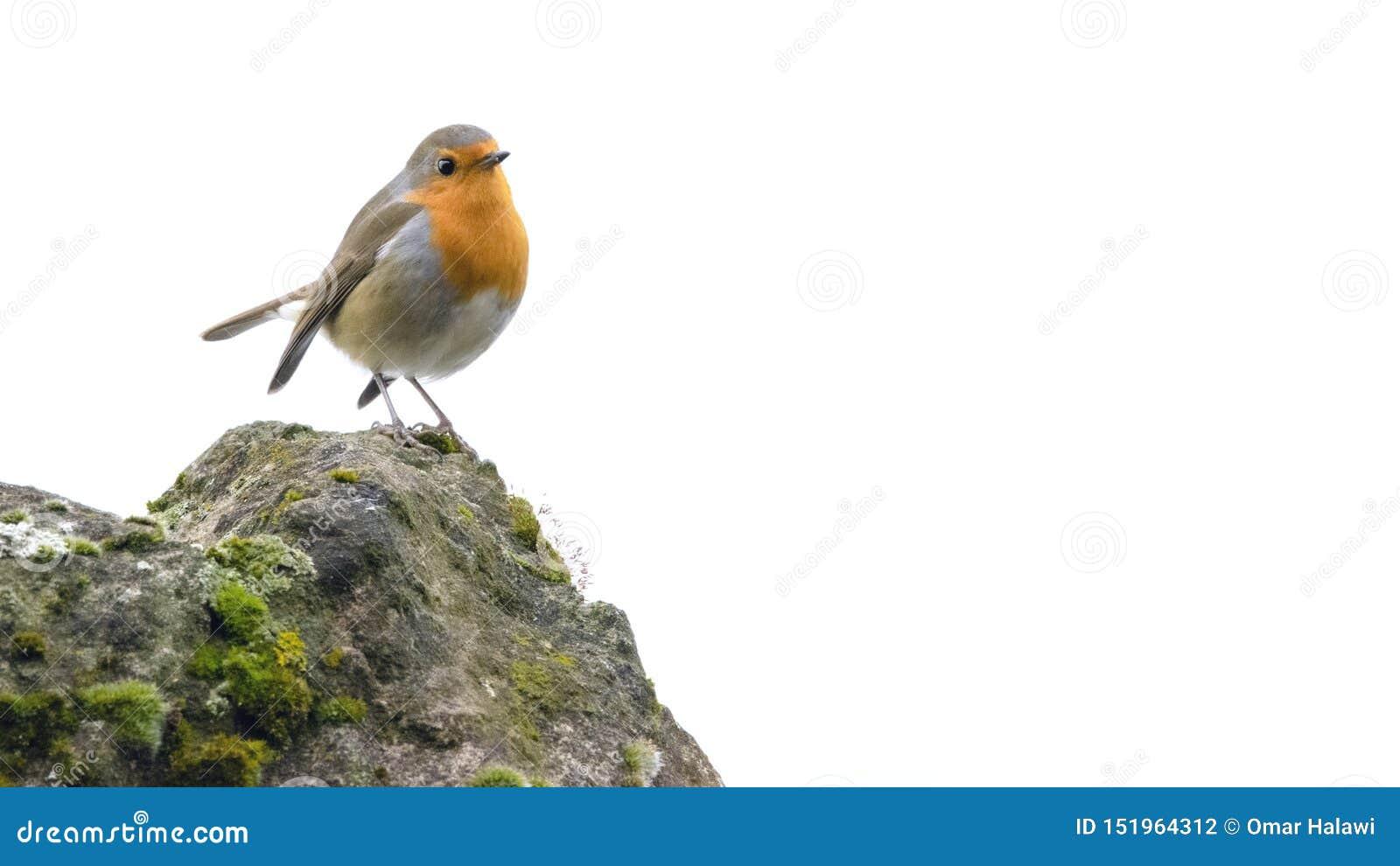 Rödhakefågel på en stenig klippa med viktbakgrund