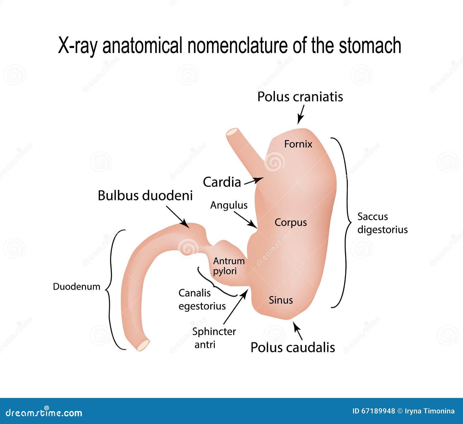 Ungewöhnlich Anatomie Und Physiologie Des Magens Bilder - Anatomie ...