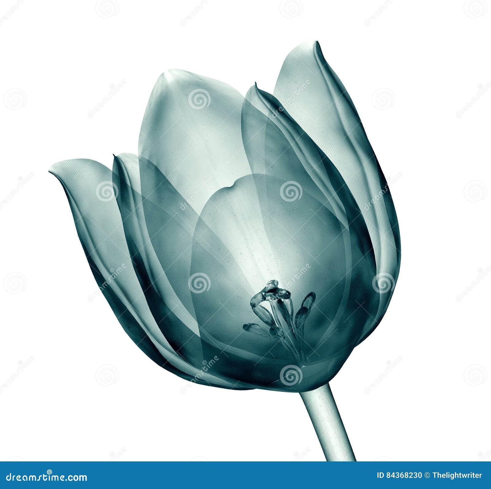 Röntgenbild einer Blume lokalisiert auf Weiß, die Tulpe