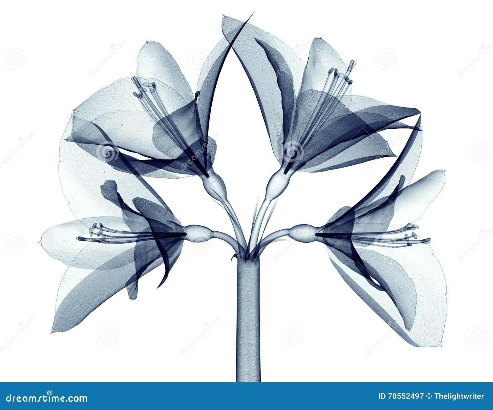 Röntgenstraalbeeld van een bloem op wit, Amaryllis wordt geïsoleerd die