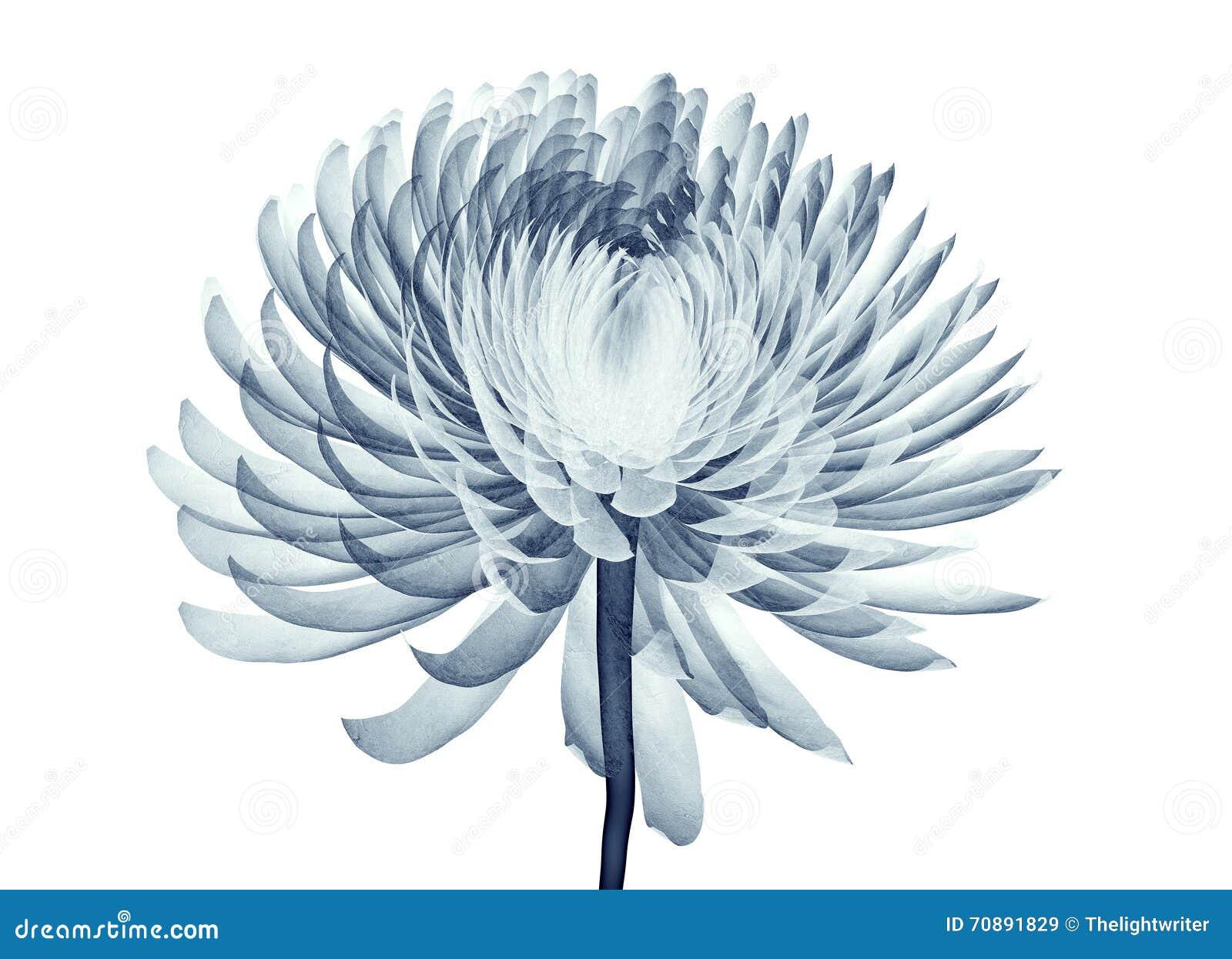 Röntgenstraalbeeld van een bloem op wit, de Pompon Chrysanth wordt geïsoleerd die