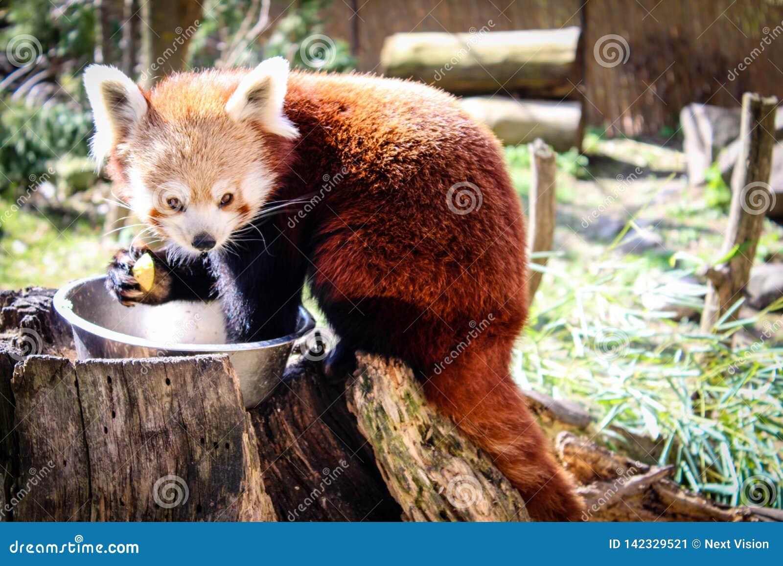 Rött äta för panda
