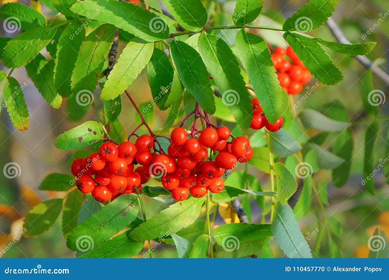 Rött ashberry på en filial