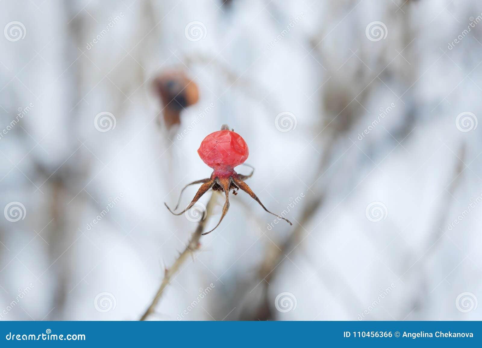 Rött bär med ryggar på vinterbakgrund
