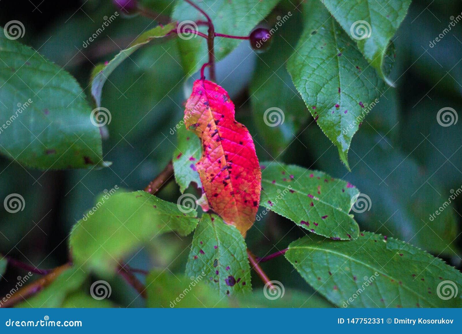 Rött blad på en filial med gröna sidor