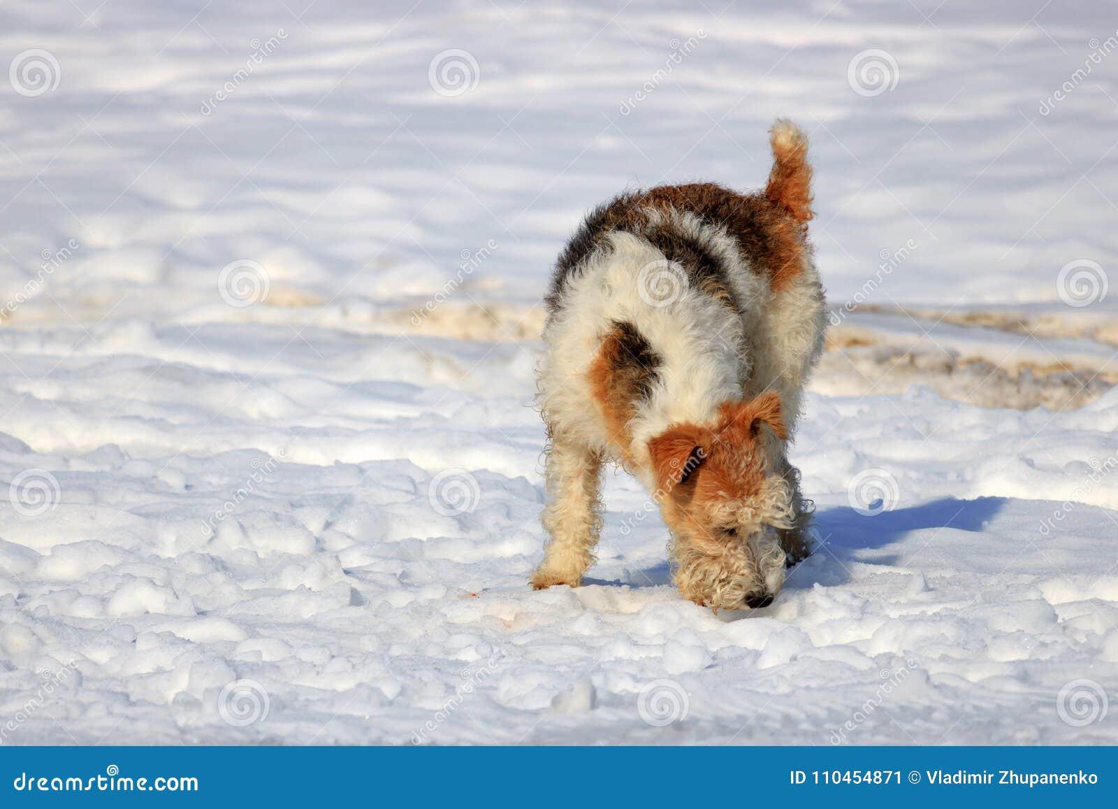 Rött hundsammanträde i snön på fältet