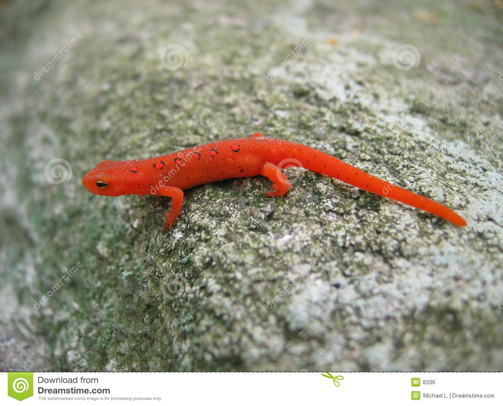 Rött prickigt för newt