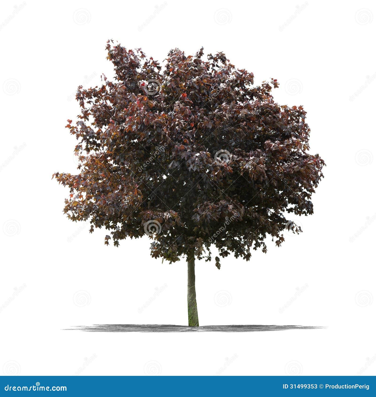 R tt tr d p en vit bakgrund arkivfoton bild 31499353 for Arbol rojo jardin