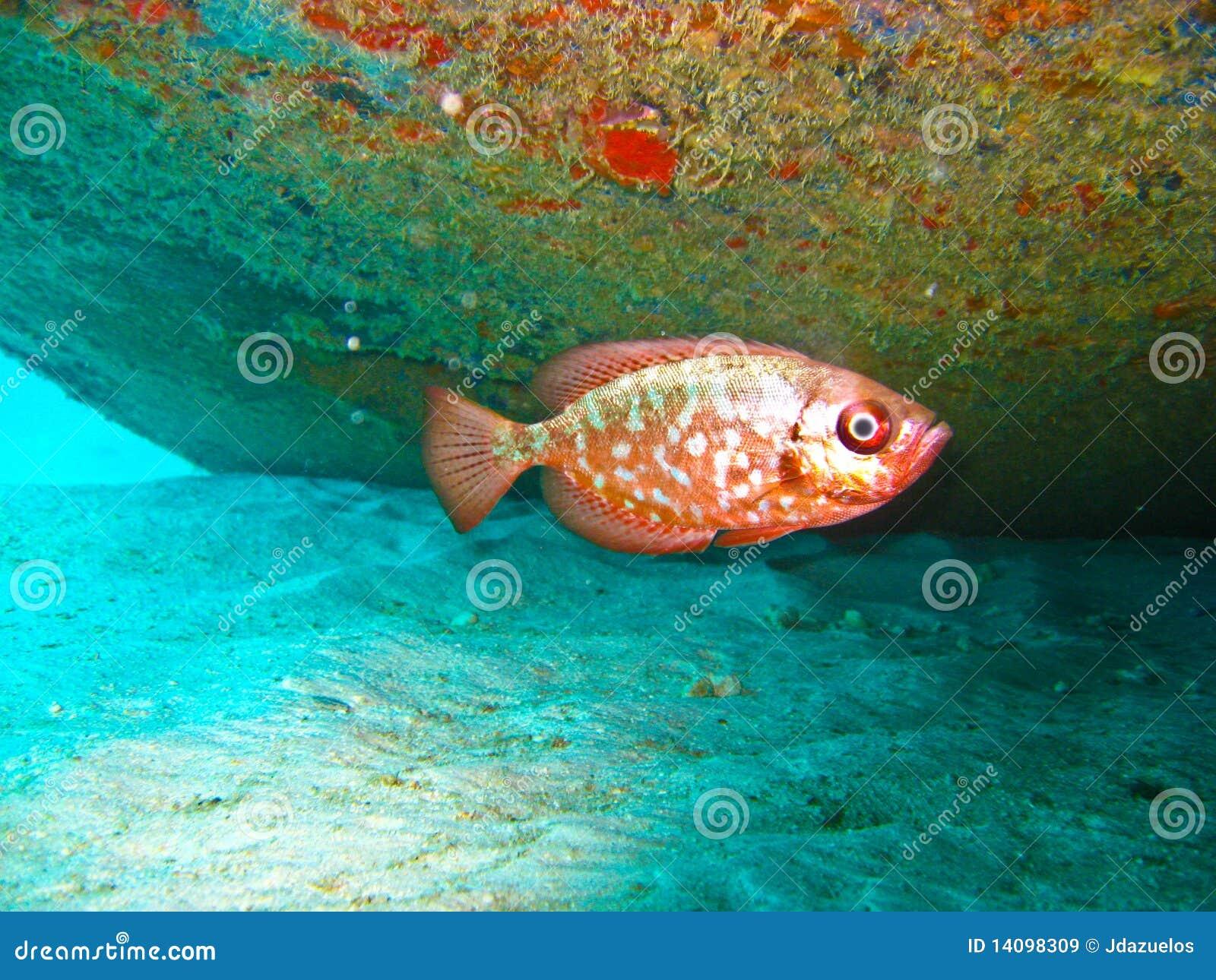 Rött tropiskt för fisk