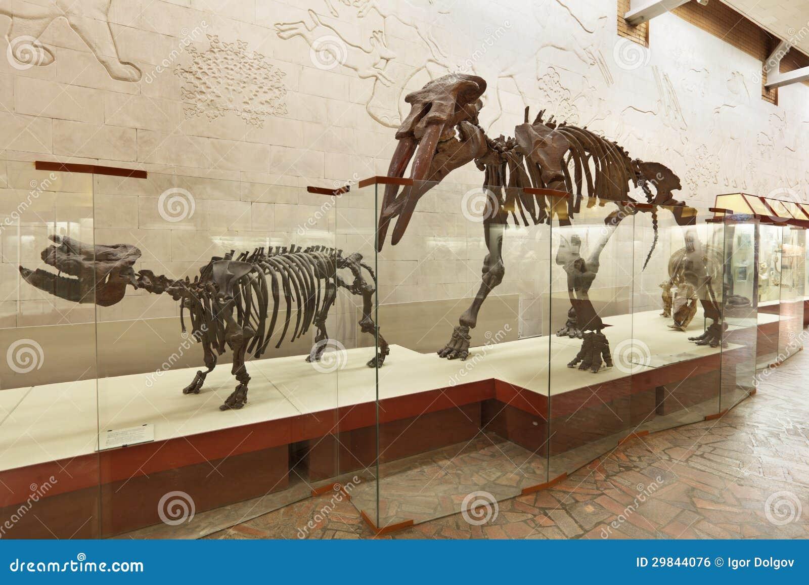 Brachypotherium e atavus do Gomphotherium do mastodon (Borissiak)