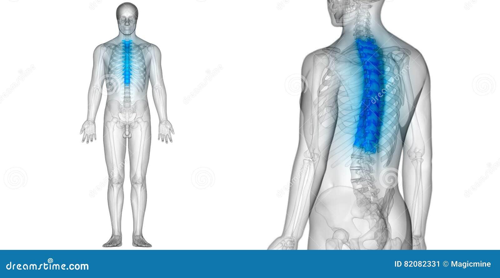 Fantastisch Rückenmark Und Wirbelsäule Anatomie Galerie ...