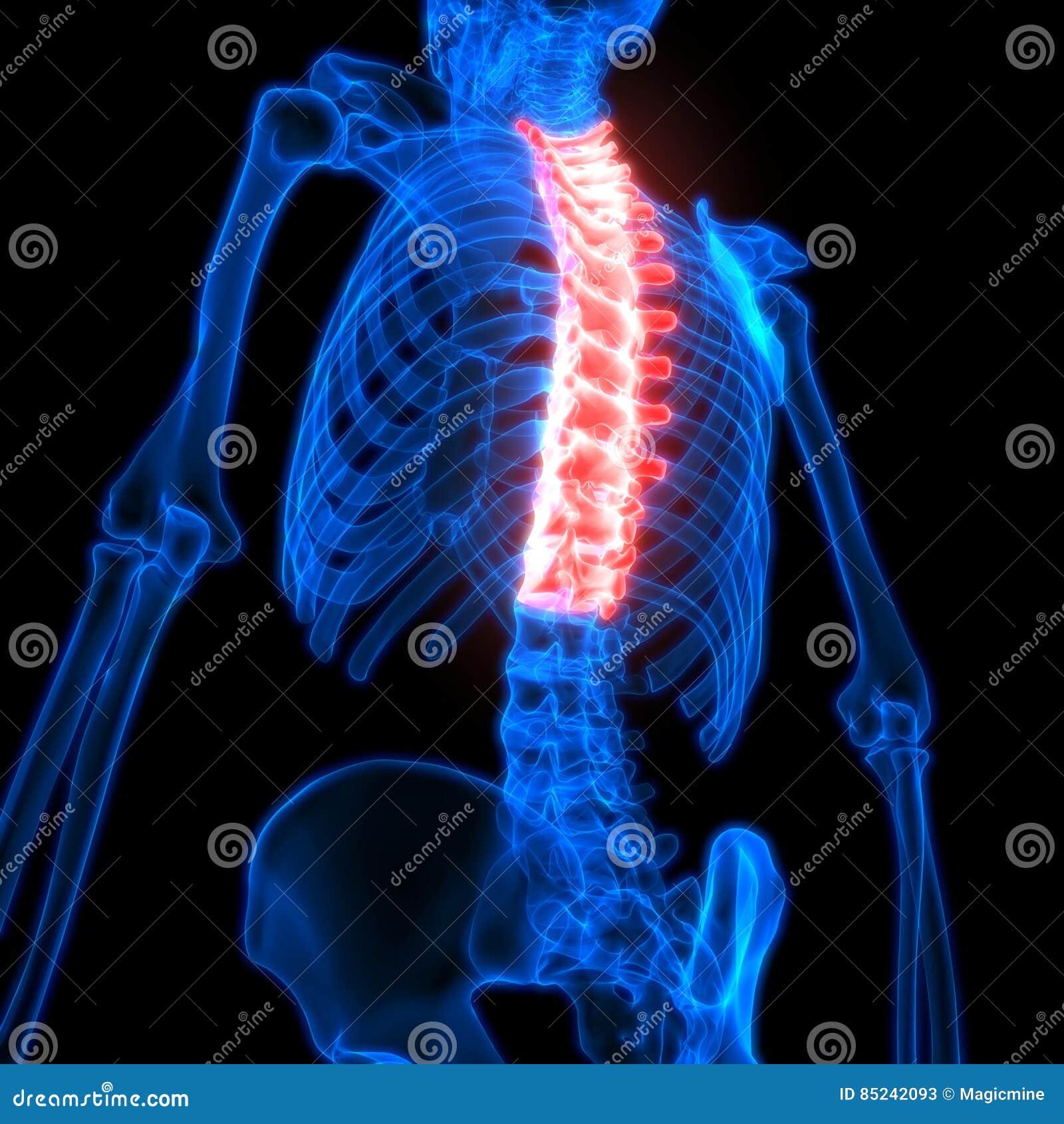 Rückenmark Brust- Wirbel Ein Teil Menschliche Skeleton Anatomie ...