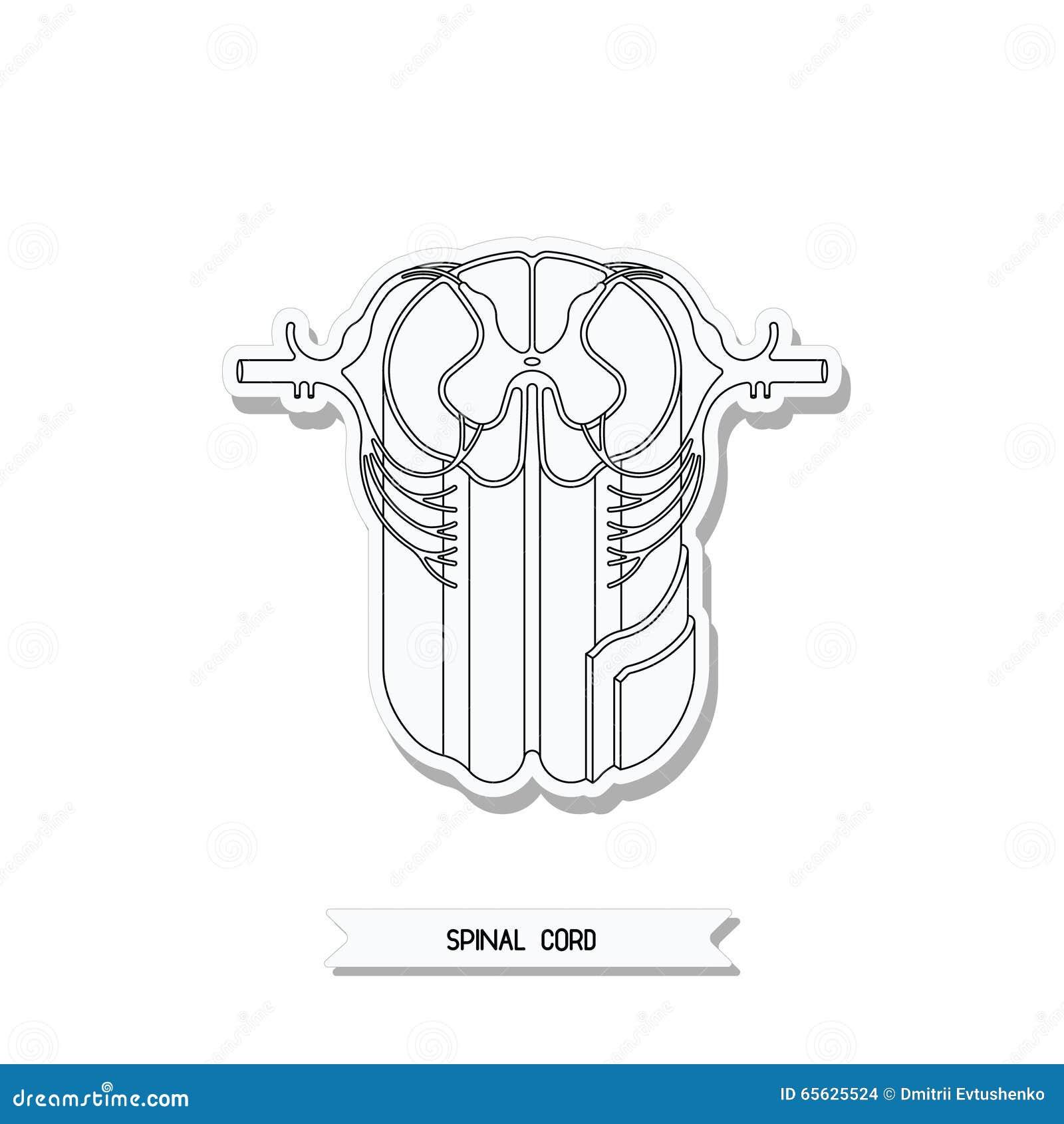 Rückenmarkquerschnitt stock abbildung. Illustration von anatomie ...