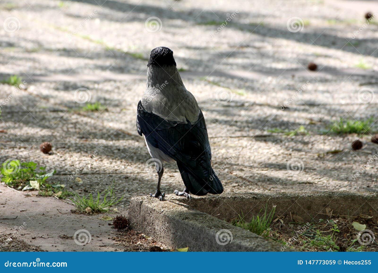 Rückseite der grauen und schwarzen kleinen Vogelstellung der Rabenkrähe im Schatten des großen Baums auf die konkrete Beschränkun